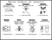 Major Orders of Insects Poster